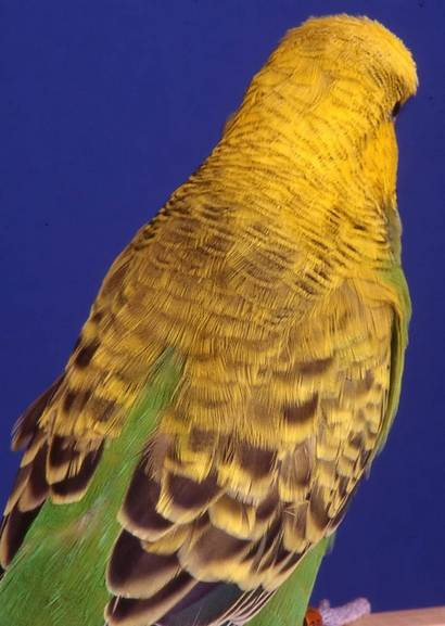 Окрас волнистых попугаев