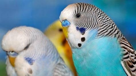 Что нужно для попугая