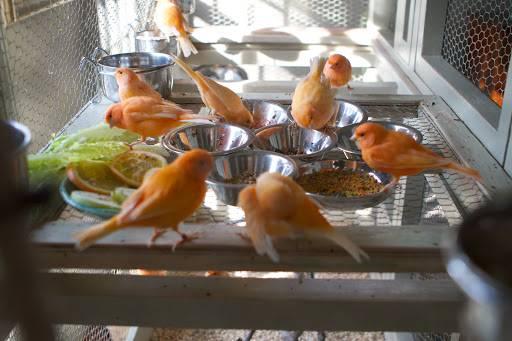 Сколько времени высиживает яйца канарейка