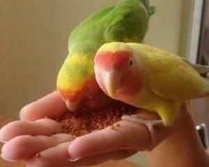 Что едят попугаи неразлучники