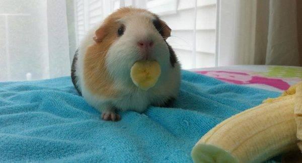 Можно ли морским свинкам бананы