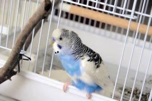 Хохлатый попугай