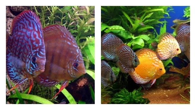 Аквариумные рыбки дискусы
