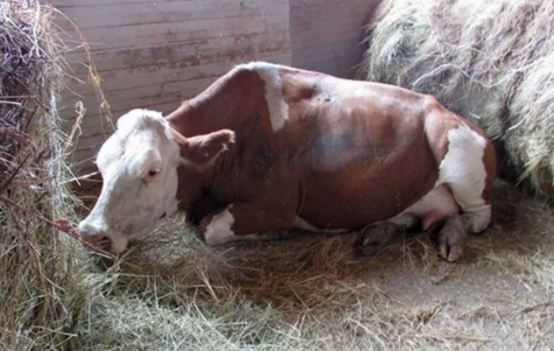 Температура у коровы