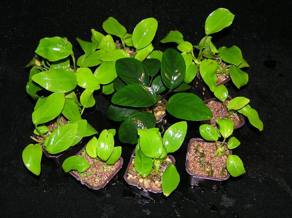 Анубиас карликовый